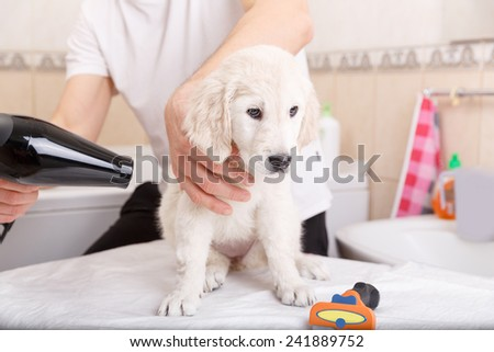 Owner is grooming the fur of retriever puppy after shower