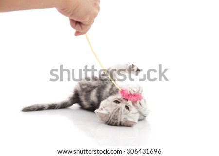 Owner playing with a gray tabby kitten on white background,isolated - stock photo