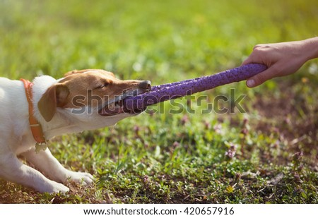 Owner playing with little Jack Russell puppy with puller toy in teeth. Location is green park. Cute small domestic dog, good friend for a family and kids. Friendly and playful canine breed - stock photo