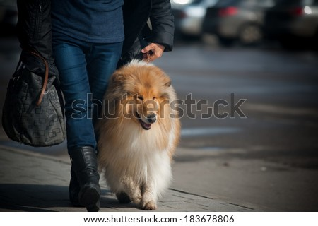 owner with collie walking - stock photo