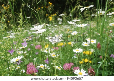 ox-eye daisies, harebell flowers, dandelions, clover flowers and lot of other plants are in bloom in this summer meadow in the Carpathian mountains, Romania. - stock photo