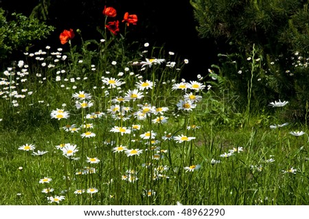 ox-eye flowers and poppy flowers in spring time