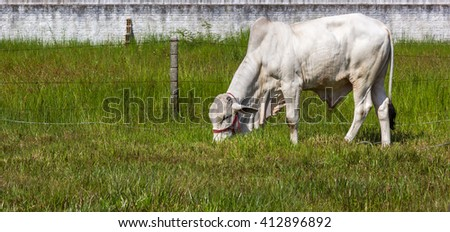 Ox in the pasture. - stock photo