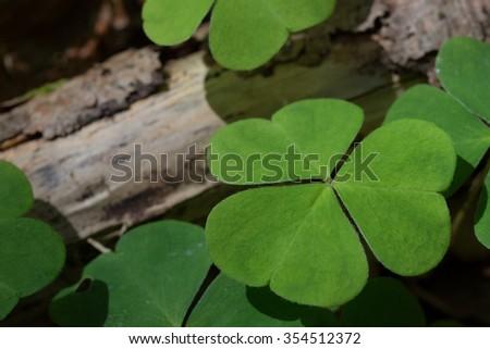 Oxalis acetosella - stock photo