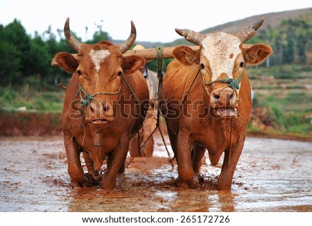 Oxen working on farmland - stock photo