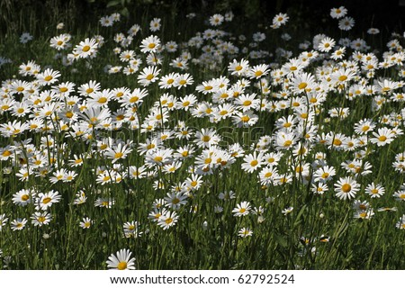 Oxeye daisy, Marguerite - Leucanthemum vulgare in may, Germany, Europe - stock photo