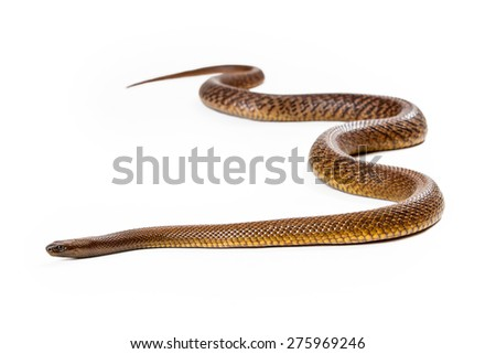 Oxyuranus microlepidotus, also known as Inland taipan, known as the world's most venomous and deadly snake found in central east Australia. Isolated on white. - stock photo