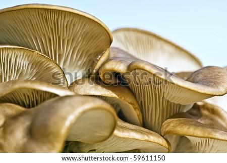 Oyster Fungus Growing on Tree Stump - stock photo