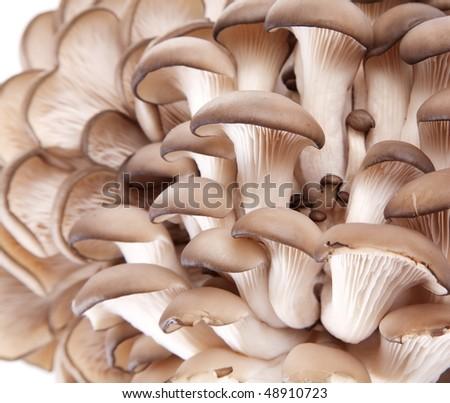 Oyster mushrooms - stock photo