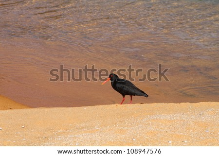 Oystercatcher searching for food on the sandy beach of Abel Tasman National Park, New Zealand - stock photo