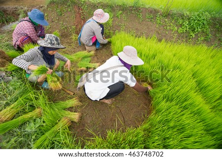 Pa Pong Pieng ,Chiangmai THAILAND - Jul 16, 2016: Unidentified Female thai farmer working on terraced paddy field.