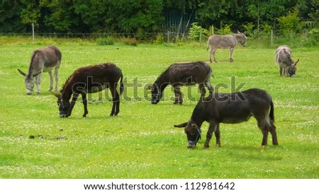 Pace or herd of donkeys grazing on farmland - stock photo