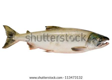 Pacific chum salmon, fresh caught mature male. - stock photo