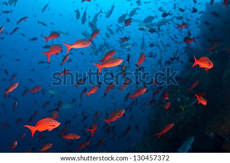 Pacific creolefish (Paranthias colonus) add bright color to the fish swirling in massive schools around Cocos Island, over 300 miles off the west coast of Costa Rica. - stock photo