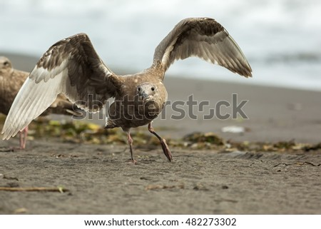 Pacific Gull on the shore of the Pacific Ocean.