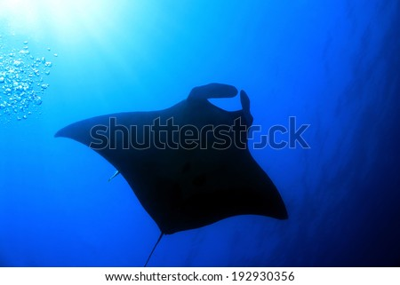 Pacific Manta Ray (Manta Birostris), Cano Island, Costa Rica - stock photo
