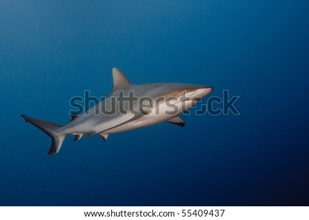 Pacific ocean. Grey reef sharks in blue water. - stock photo