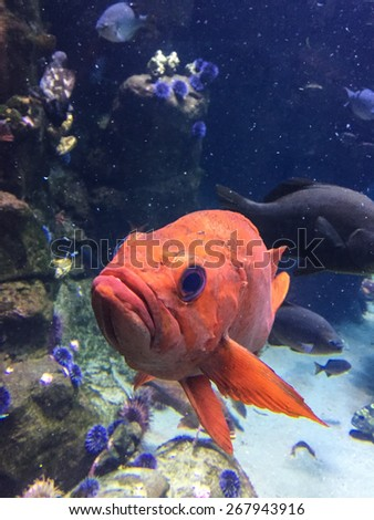 Pacific ocean perch (Sebastes alutus), also known as the Pacific rockfish, Rose fish, Red bream or Red perch has a wide distribution in the North Pacific. - stock photo