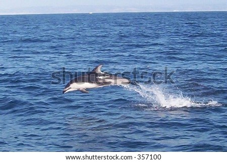 Pacific White-Sided Dolphin leaping out of the water - stock photo