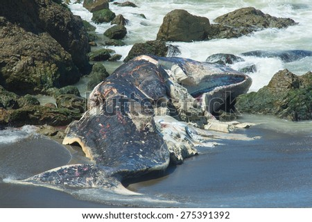 PACIFICA, CA - April 18: A 50-foot Sperm Whale remains at Sharp Park State Beach. Earlier scientist performed a necropsy on the whale. Taken at Sharp Park State Beach in Pacifica, CA on April 18, 2015 - stock photo