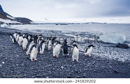 Pack of adelle penguins on the peninsula of Antarctica - stock photo
