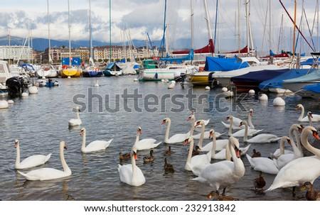 Pack of swans on Leman Lake in Geneva, Switzerland - stock photo