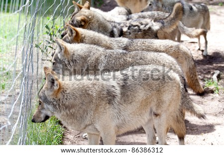 Pack of wolfs looking through a fence - stock photo