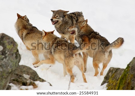 Pack of wolves in the snow - stock photo