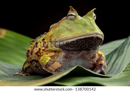 Pacman frog or toad, South American horned frogs Ceratophrys cornuta Tropical rain forest animal living in the Amazon rainforest of Brazil Suriname kept as exotic pet animal - stock photo