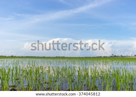 Paddy detailed with skies reflection with low angle composition - stock photo
