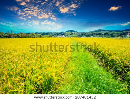 paddy field for adv or others purpose use - stock photo