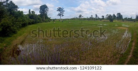 Paddy field in Cambodia
