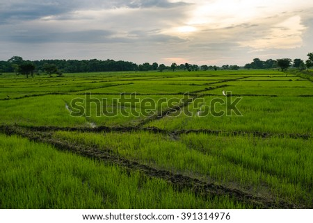 Paddy Field in Sri Lanka