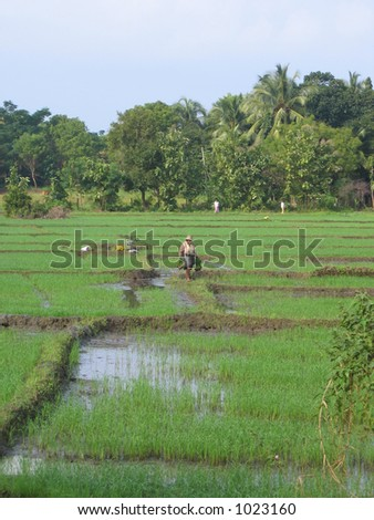 Paddy Fields 2, Sri Lanka - stock photo