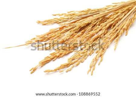 paddy or rice grain (oryza) isolated on white background - stock photo