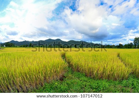 paddy rice field - stock photo