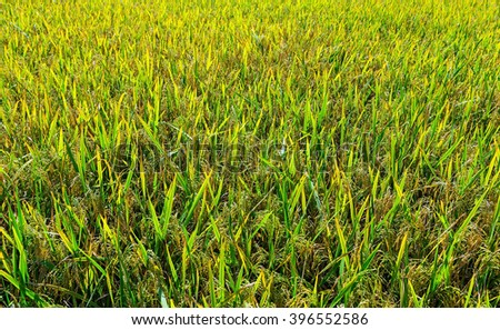 paddy rice field Background sunlight day - stock photo