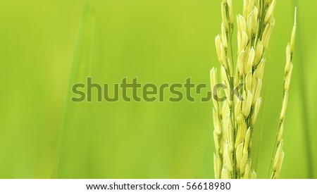 paddy rice field close up with a lot of copyspace for advertising purpose - stock photo