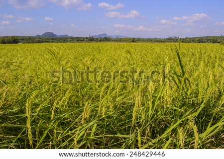 Paddy rice in the rice field at southern of Thailand