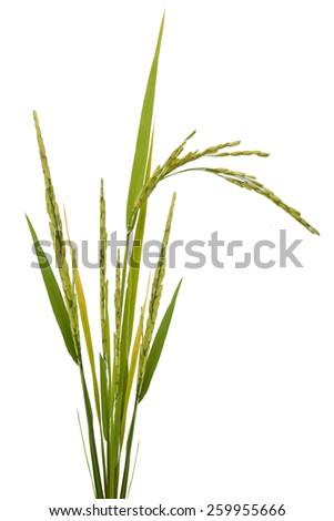 paddy rice isolated on white background - stock photo