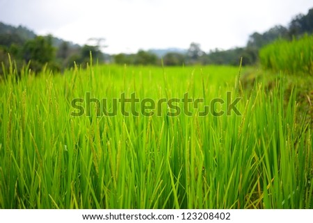 Paddy Rice on Terrace Fields - stock photo