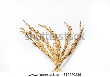 Paddy rice on white background - stock photo