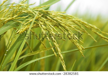 Paddy rice. Rice crop ready for harvest. - stock photo