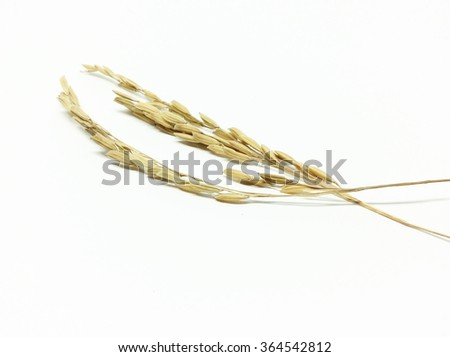 Paddy rice, rice grain yield or Golden rice spikes
