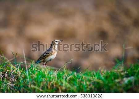 Paddyfield pipit on paddy filed and staring