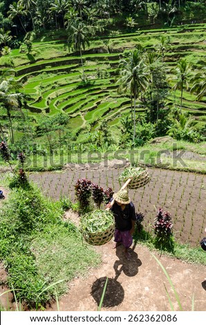 Padi Terrace, Bali, Indonesia - Local plantation of the layered rice terrace in Bali Island, Indonesia. - stock photo