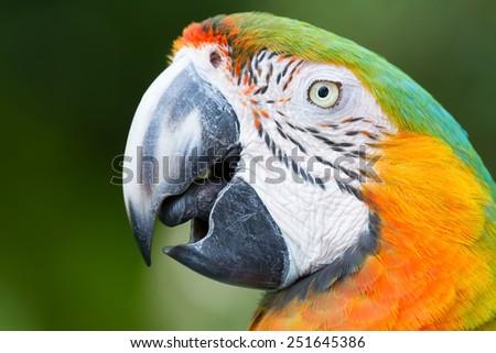Page parrot closeup. - stock photo