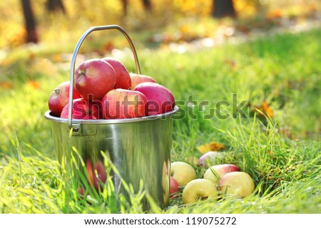 pail of fresh ripe apples in garden on green grass