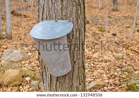 Pail used to collect sap of maple trees to produce maple syrup in Quebec. - stock photo