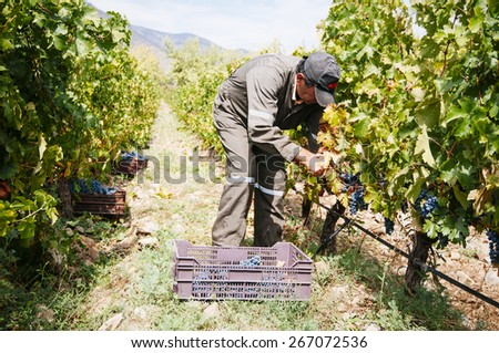 Paine, CHILE- Marzo 29, 2015. Hand grapes picking in small organic vineyard during harvest autumn. - stock photo